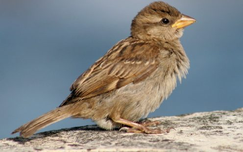 An image of a UK Sparrow bird.